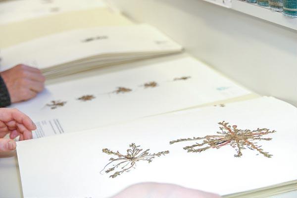 Photo of plant specimen in herbarium
