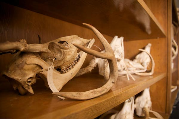 a shelf in the vertebrate museum with fossils on it